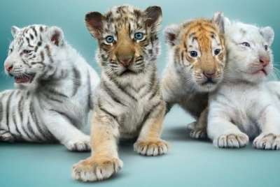 Siegfried & Roy to introduce their four new tiger cubs in Las Vegas