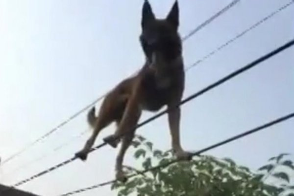 watch dog walks the tightrope in owners garden upicom
