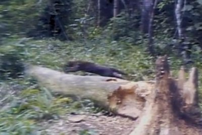 First footage captured of African golden cat hunting