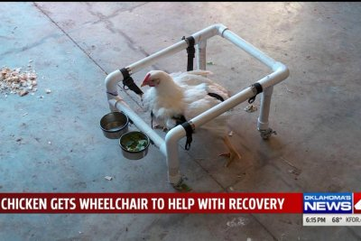 Rescue builds wheelchair for rescued factory farm chicken