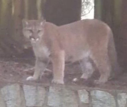 Couple filming cougar capture second big cat's fall from fence