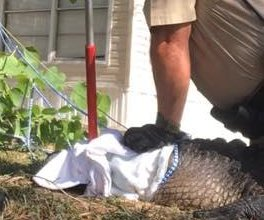 Game wardens catch escaped alligator taking a bath at RV park