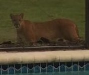 Florida woman films panther watching her from back yard