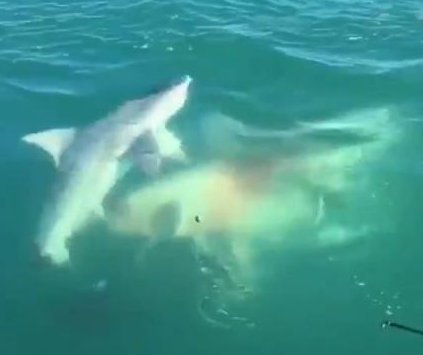 'Monster' shark bites off hooked shark's tail in Florida