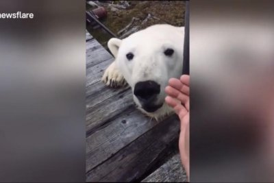 Arctic station worker films close encounter with polar bear