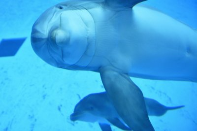 Human whistled languages may help decipher dolphin communication
