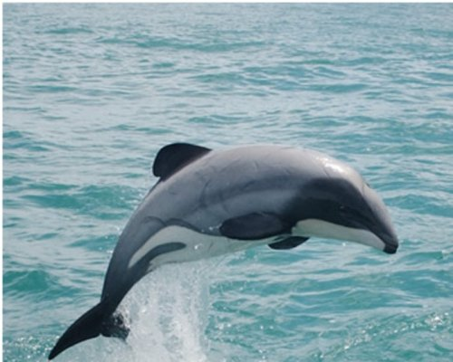 New Zealand urged to protect rare dolphin