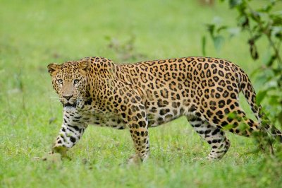 Dogs are the favorite food of leopards in rural India