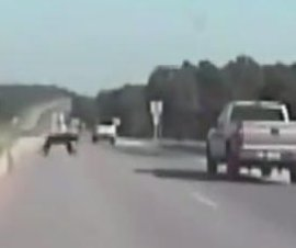 Bear survives highway crash with pickup truck