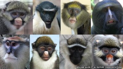 Faces of Old World monkeys evolved to prevent crossbreeding