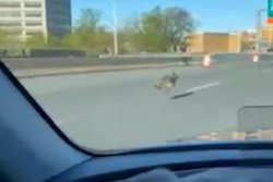 Connecticut commuter records coyote running on the highway