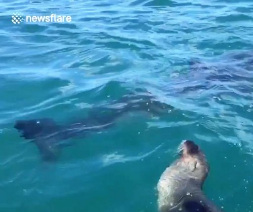 Seal dodges great white shark next to tourists' boat