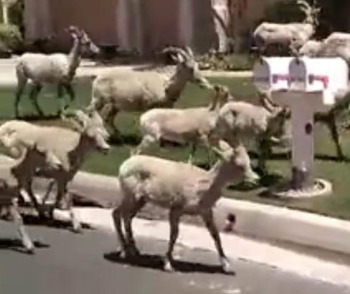Gang of bighorn sheep wanders through California neighborhood