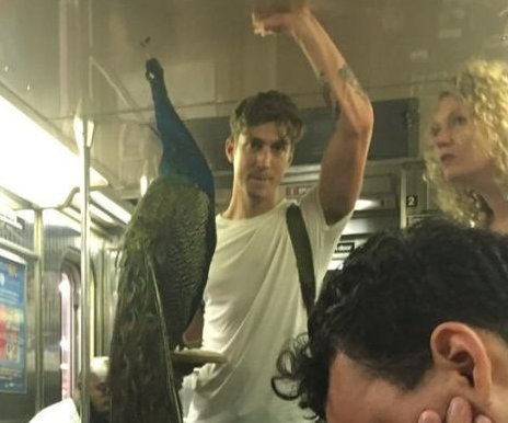 Giant peacock rides the New York subway in Brooklyn