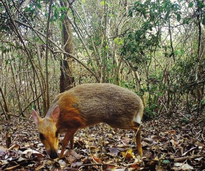 Deer-like species found in Vietnam after 30-year absence