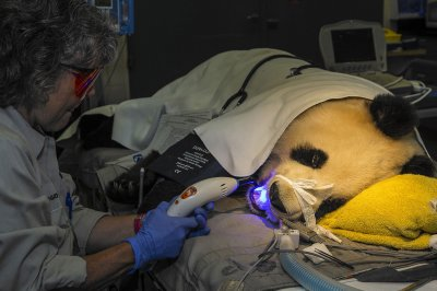 Gianta panda visits dentist