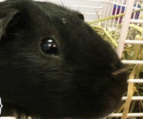 Rescued guinea pigs named using artificial intelligence