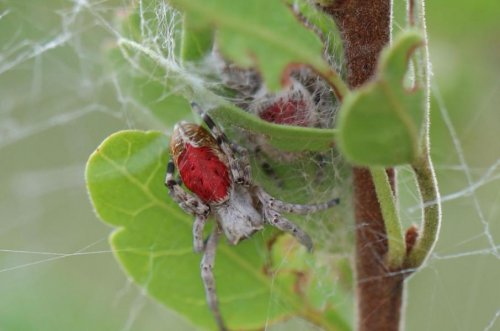 The most aggressive spider societies don't always thrive