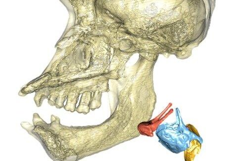 Primate voice boxes are bigger, evolve at a faster pace, study says