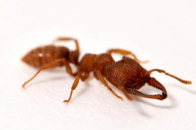 Dracula ant's snap-jaw is the fastest known animal appendage