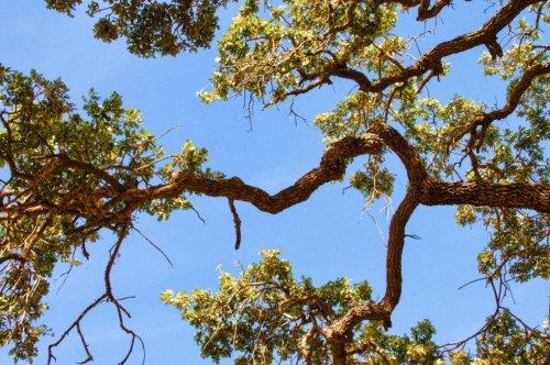 First genomic survey of oak family reveals tree's evolutionary history