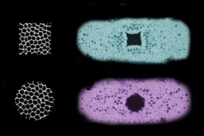 Scientists use light to create new tissue shapes