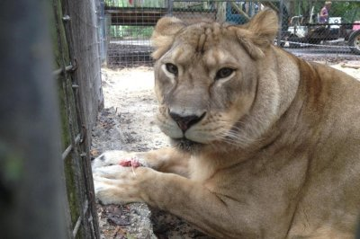Lioness escapes enclosure at Florida animal sanctuary