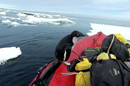 Penguin hops aboard researchers' boat in Antartica