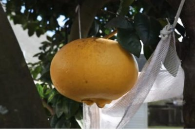 Louisiana couple's giant grapefruit breaks two records