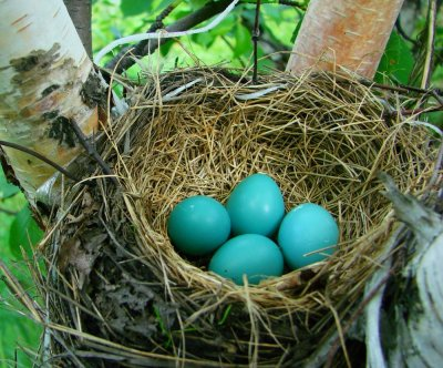Study explains why robin eggs are blue