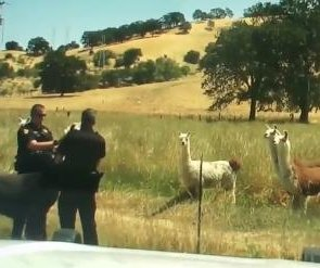California deputies tussle with llama to get it back to herd