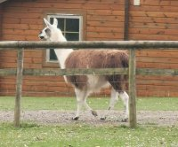British police wrangle escaped llama