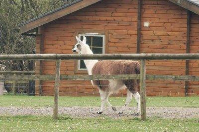 British police wrangle escaped llama