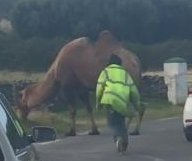 Escaped circus camel blocks traffic on road in Ireland
