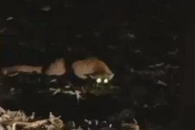 Man films encounter with possible mountain lion in Minnesota