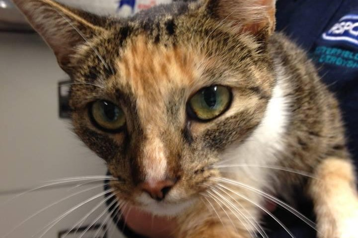 swedish cat missing for a year returned to owner in england upi com