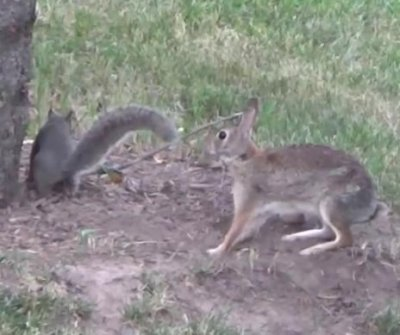 Squirrel, rabbit filmed 'playing tag' in Minnesota back yard