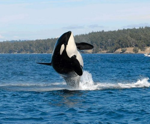 Granny, world's oldest known orca, presumed dead