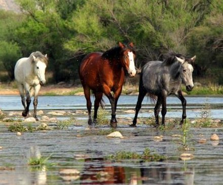 U.S. Forest Service to round up, sell Arizona's wild horses