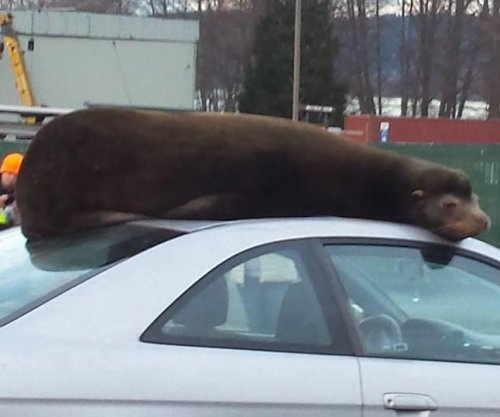 Sea lion climbs atop car in Washington state, takes a nap