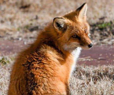 Red fox escapes enclosure at Oklahoma City Zoo
