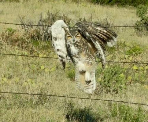 Owl rescued from barbed wire fence