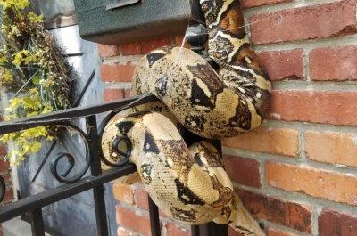 Giant snake envelopes Kansas City mailbox