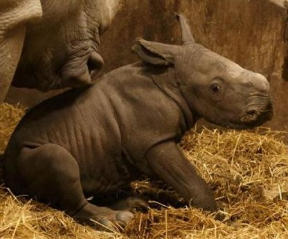 Zoo releases video of rhino's birth, first steps