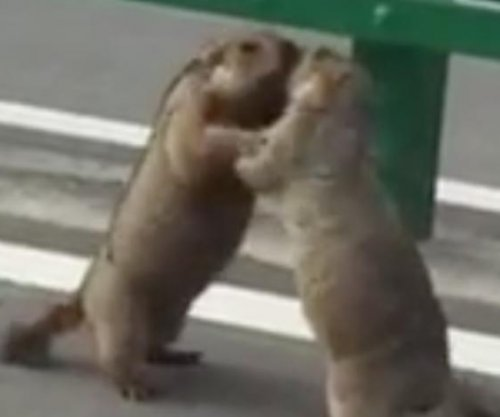 Slap-fighting marmots make for adorable road hazard