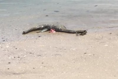 'Legendary' sea monster on Georgia beach likely a decomposing shark