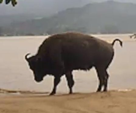 Flooding releases bison herd to run free in Hawaii