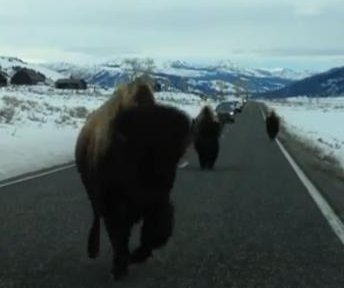 Buffalo rams SUV head-on in Yellowstone