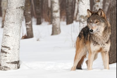 Bill to remove federal protection for gray wolf passes House, heads to Senate