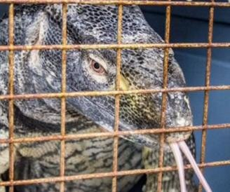 Venomous 4-foot lizard captured on plane at Florida airport